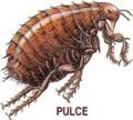 Pulce (7)