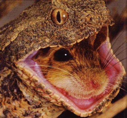 Vipera topolino mangia immagine foto for Animali domestici della cabina di nashville