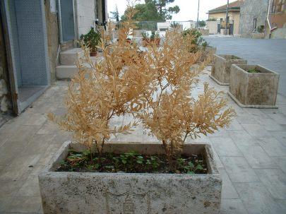 Vandali a marianopoli fanno strage di piante milocca for Piante secche ornamentali