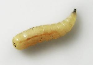 larve-carnivore
